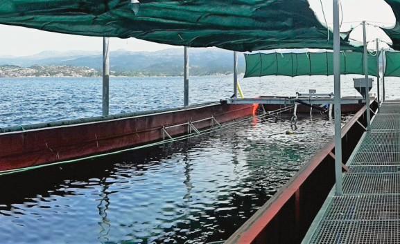 Рыбу выращивают в больших плавающих садках из проволочной сетки